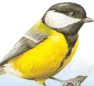 Oiseau jaune noir blog de boris078 for Oiseau noir bec jaune